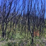 Tathra Regeneration After Fire Walk